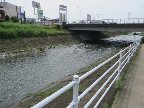 井野川のカルガモ親子