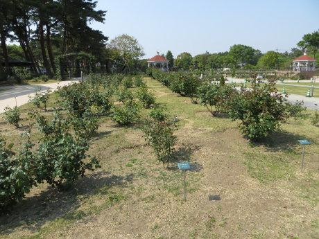 敷島公園ばら園のバラが咲きだしました