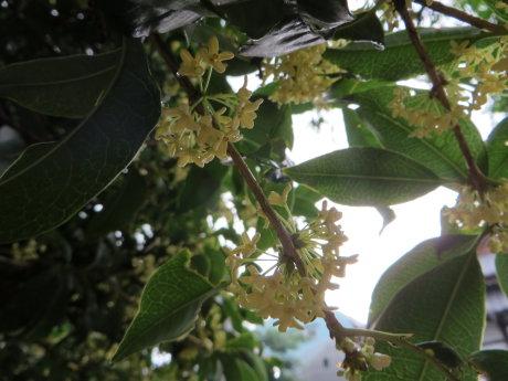 お寺に咲くキンモクセイ