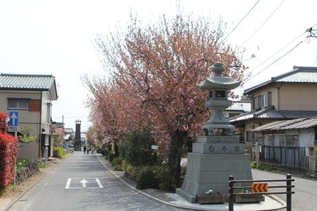 白井宿の八重桜の様子