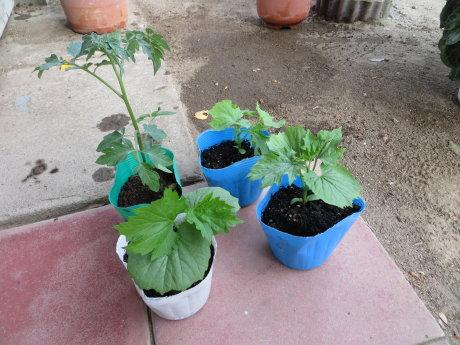 ゴーヤとミニトマトの苗を買ってきました^^