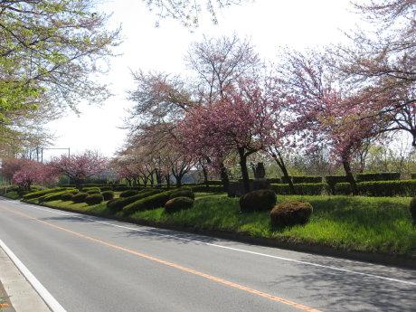 敷島桜並木には色々な桜が