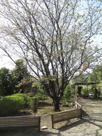 黄緑色の桜の花