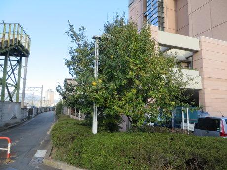 社会福祉総合センターの花梨の実