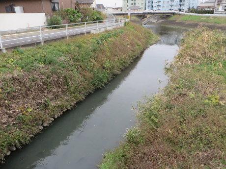 小さな川に野鯉がたくさん