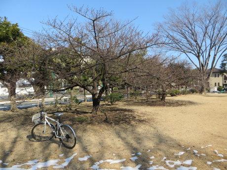 市ノ坪公園の河津桜が