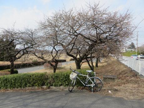 敷島公園の河津桜も・・・