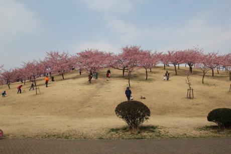 いせさき市民のもり公園の河津桜