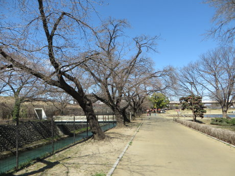 前橋公園のソメイヨシノは