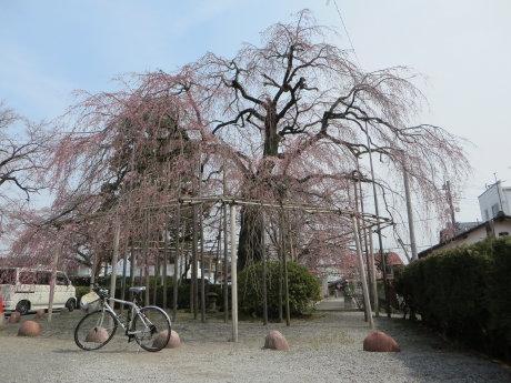 真光寺のしだれ桜は・・・
