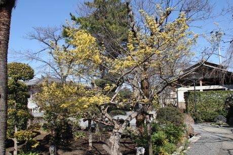 慈眼寺のサンシュユとしだれ桜の様子