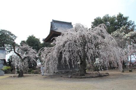 慈眼寺のしだれ桜が見ごろです