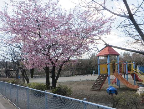 市内の河津桜も結構咲いてます