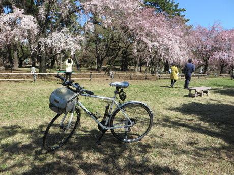 敷島公園のしだれ桜が綺麗です