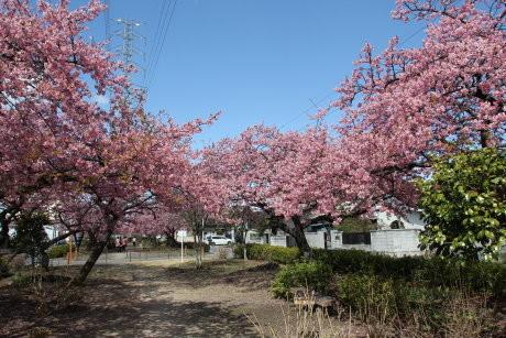 みろく緑地公園の河津桜は