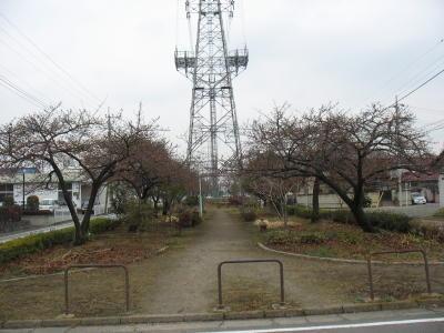 地元の河津桜