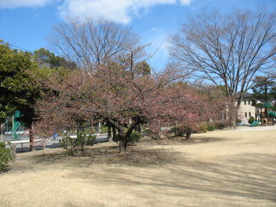 市之坪公園の河津桜も
