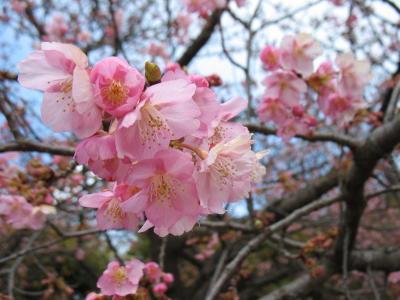 市之坪公園の河津桜もいよいよ