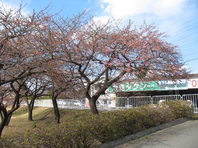 敷島公園の河津桜は?