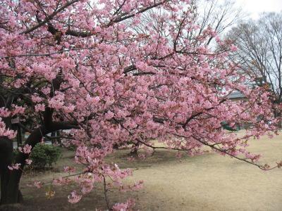 河津桜が見ごろになってきました