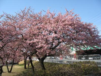 敷島公園の河津桜が見頃です