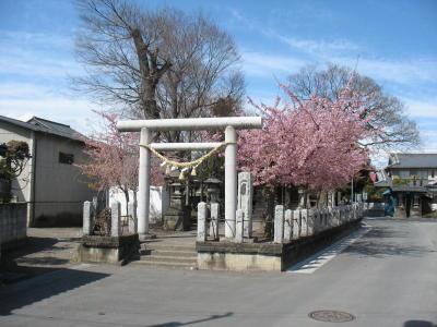 鏡神社の桜が散り始めてます