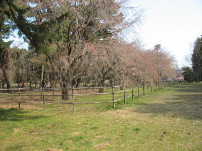 敷島公園のしだれ桜の開花はもうすぐ