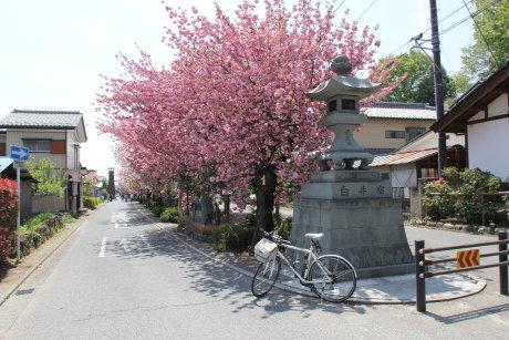 八重桜の名所、白井宿