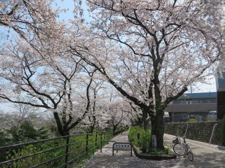 下石倉町のソメイヨシノ