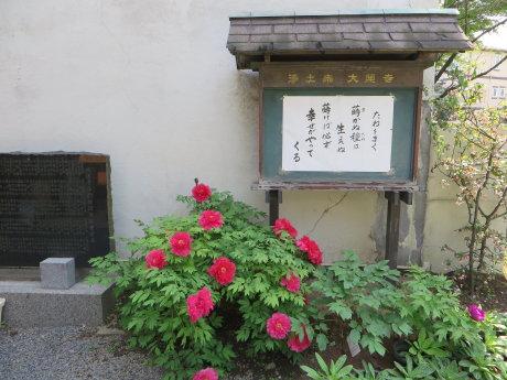 大蓮寺の牡丹