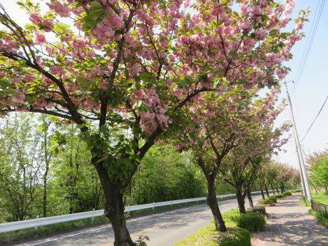 市内の八重桜も