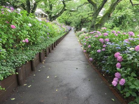 石倉町緑公園の紫陽花