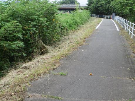 サイクリングの途中でメスのキジ発見