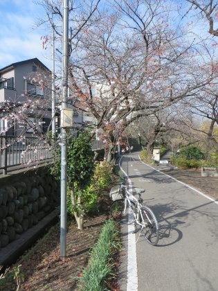 サイクリングロードに寒桜