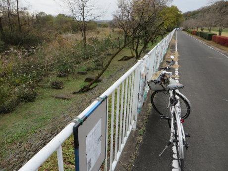 サイクリングロード沿いの皇帝ダリア