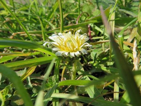 白いタンポポの花