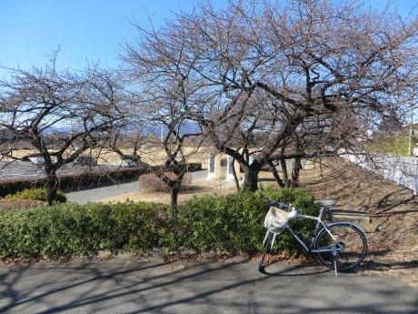 敷島公園の河津桜はまだつぼみですが