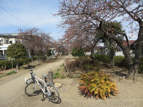 河津桜のある みろく緑地公園