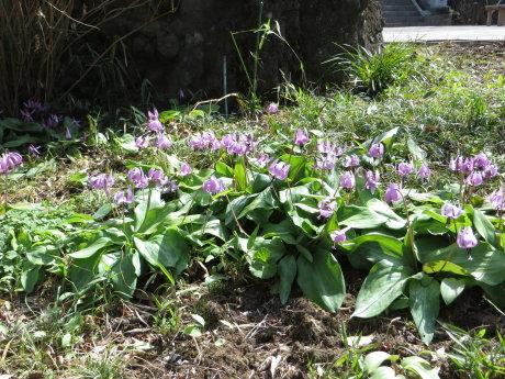 カタクリの花が咲く達磨寺