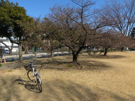 市之坪公園の河津桜がそろそろ
