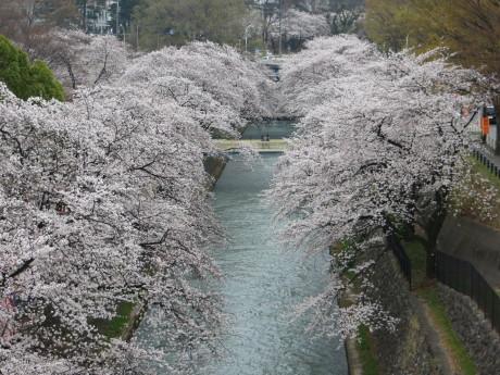 前橋公園のソメイヨシノが見頃です