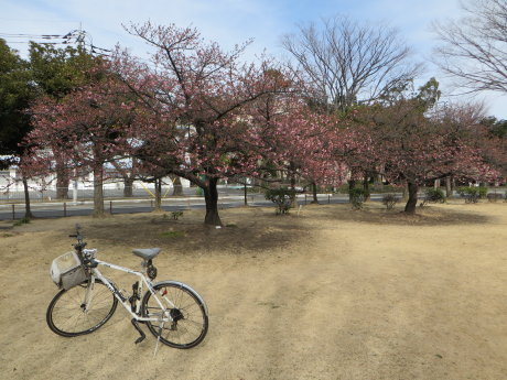 市之坪公園の河津桜にメジロが