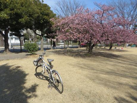市之坪公園の河津桜が見ごろになってきました