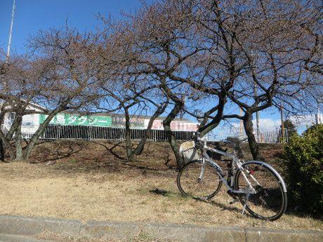 敷島公園の河津桜ももうすぐ