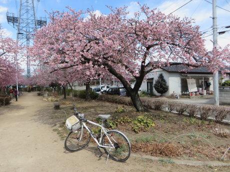みろく緑地公園の河津桜が見頃です