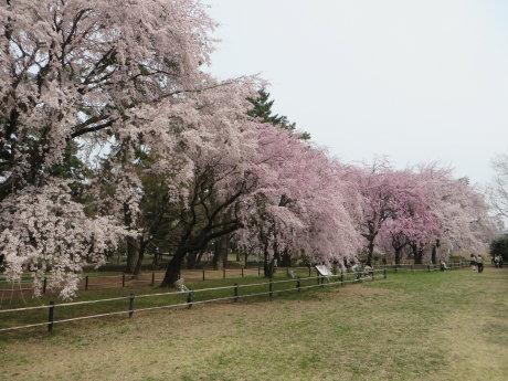 敷島公園のしだれ桜が見頃です