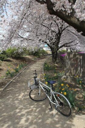 桜満開の谷地沼親水ふるさと公園