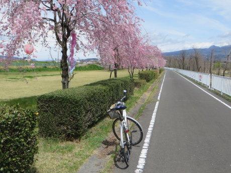道の駅よしおか温泉東側のしだれ桜が見頃です