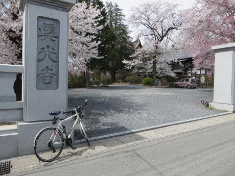 真光寺のしだれ桜もなかなかです