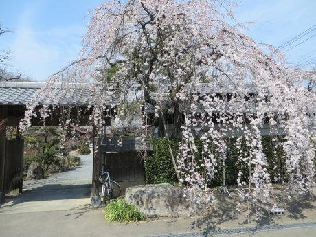 しだれ桜が見頃の慈眼寺へ